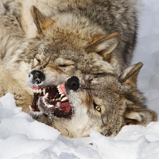 آیا معامله گران به گرگ های قطب شمال شباهت دارند