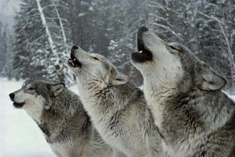 آیا معامله گران به گرگ های قطب شمال شباهت دارند؟