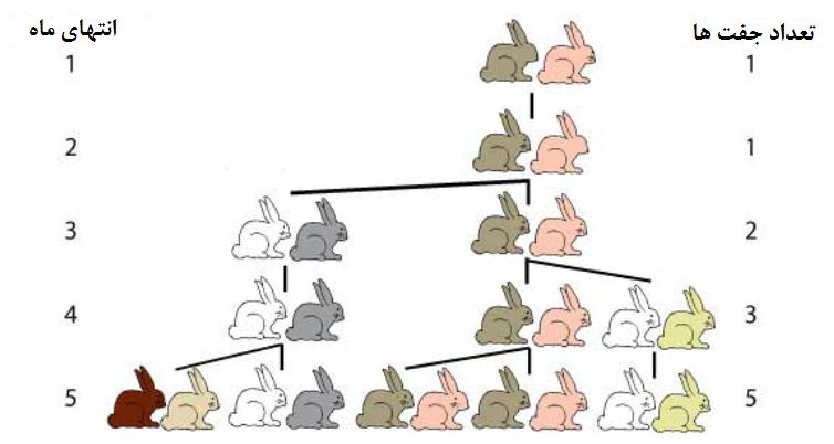 تشکیل فیبوناچی با بررسی زادوولد خرگوش ها